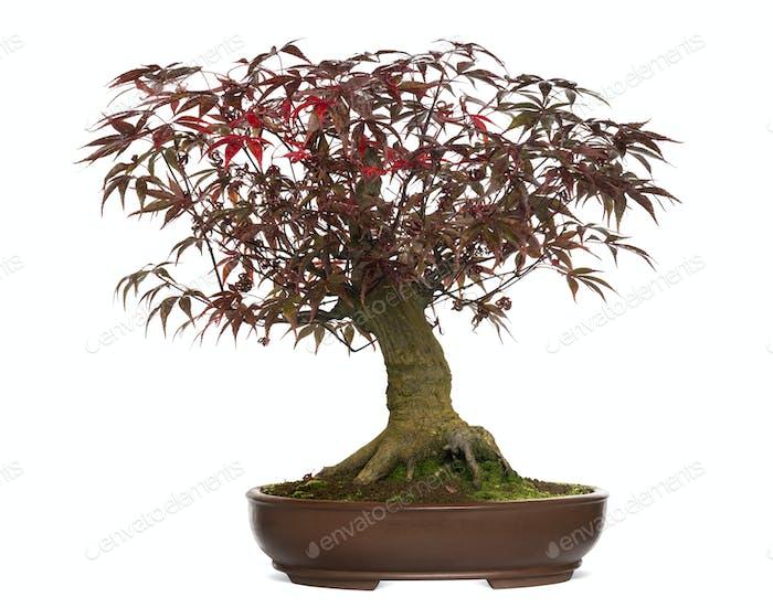 Japanese Maple bonsai tree, Acer palmatum, isolated on white