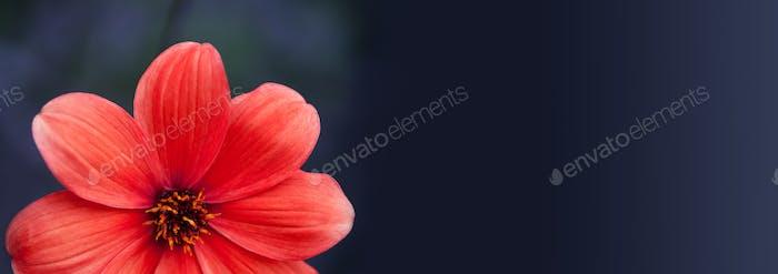 Elegant red petals plant on blurred dark background. Zinnia flower macro view
