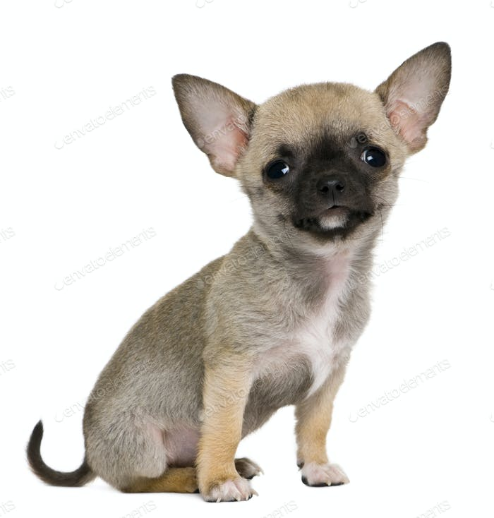 Chihuahua puppy, 3 months old, in front of white background