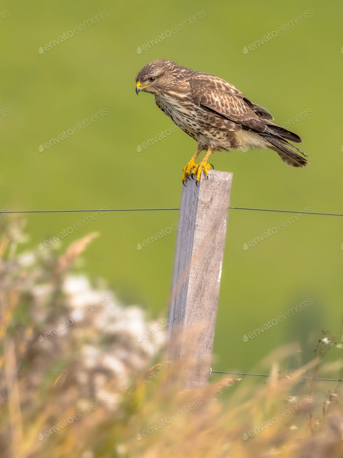 Common buzzard hunting and looking for prey