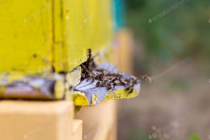 Bees working near hive