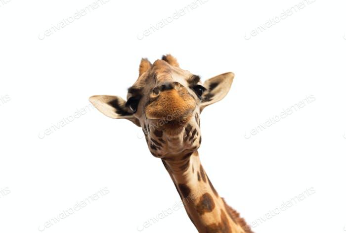 close up of giraffe head on white