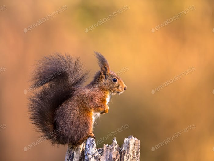 Red squirrel sitting bright  large background