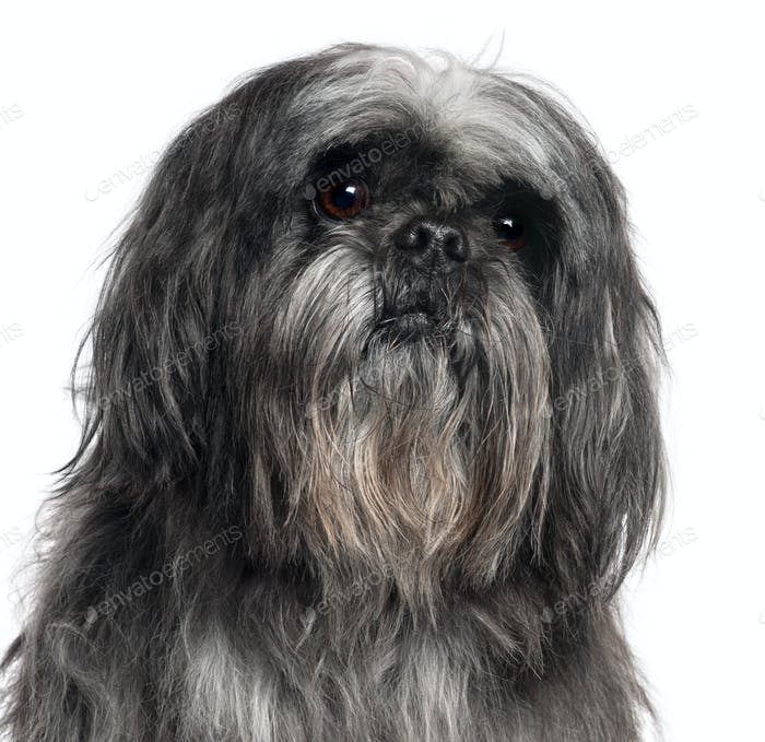 Close-up of Shih Tzu, 9 years old, in front of white background