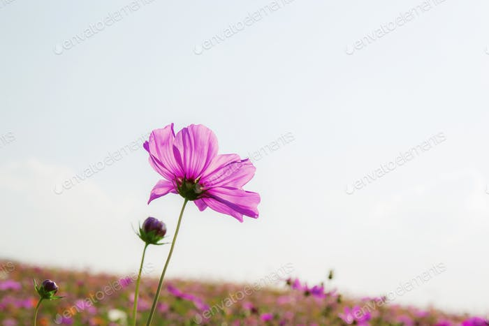 Pink cosmos with sky