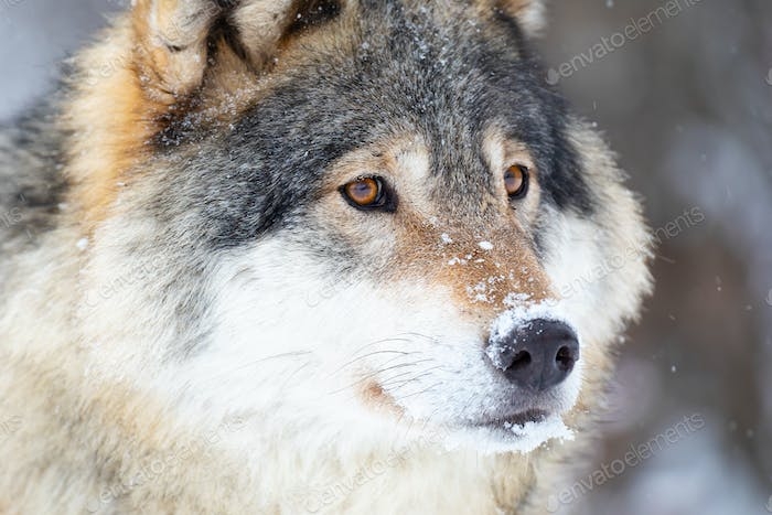 Close-up portrait of a magnificent wolf in the cold winter