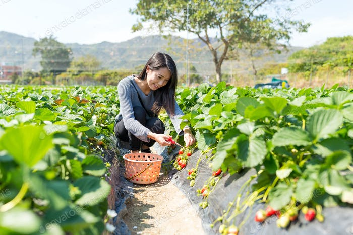 Picking strawberry in field