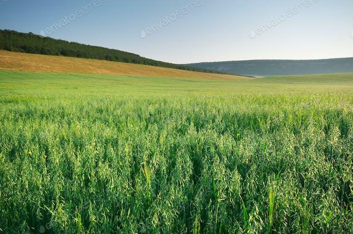 Meadow of oats.