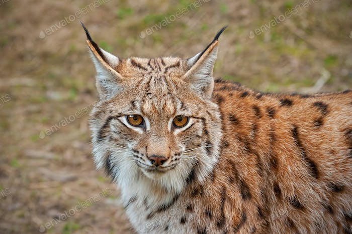 Detailed close-up of adult eursian lynx in autmn forest with blurred background