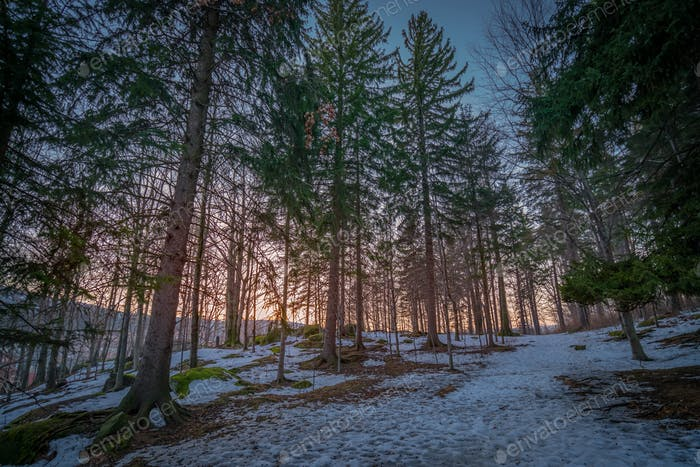 Pine forest in winter,