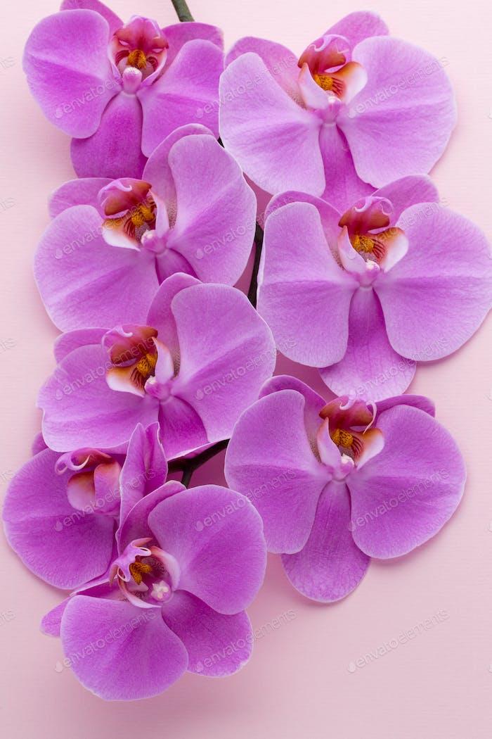 Rosa schöne Orchidee auf farbigem Hintergrund.