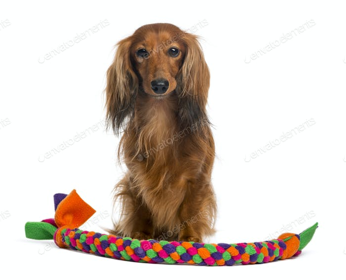 Dachshund, 4 years old, sitting with a tennis ball in front of him against white background