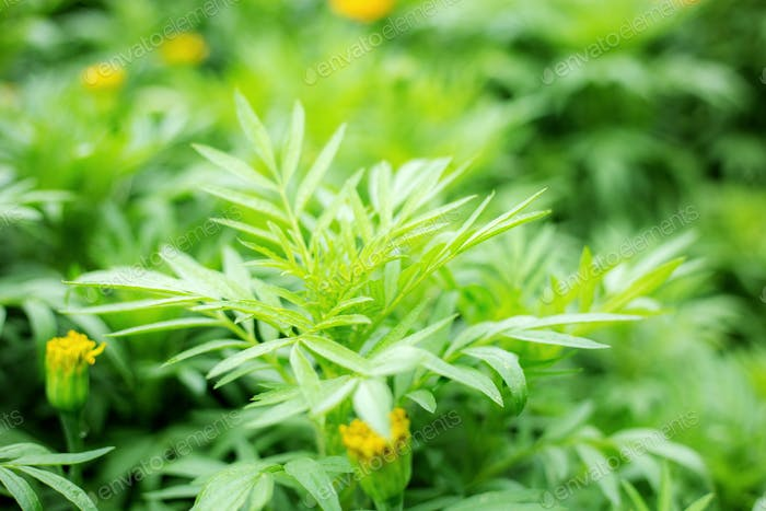 Leaves of marigold flower in park