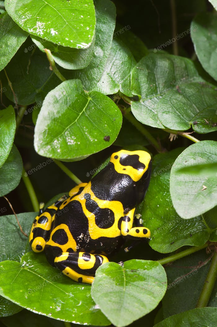 Dendrobates Poisnous Dart Frog