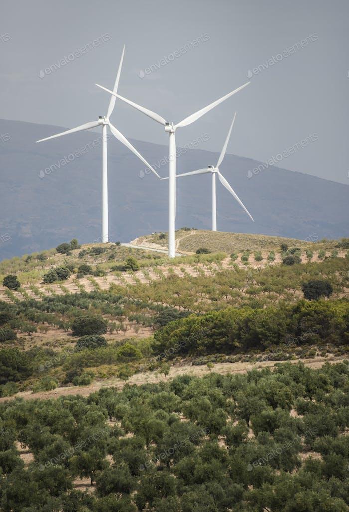 Wind turbines and olive trees