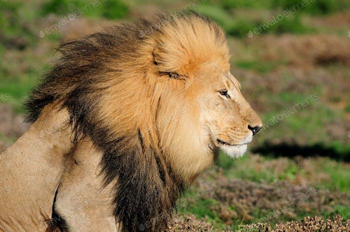 Ein Kalahari Löwe