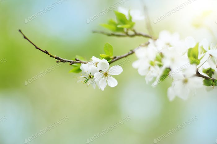 Blooming twig of fruit tree in the garden