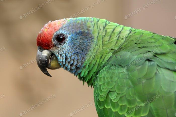 Scarlet macaw parrot profile portrait outdoors