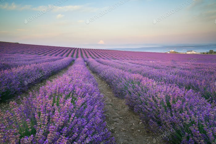 Meadow of lavender at morning light.