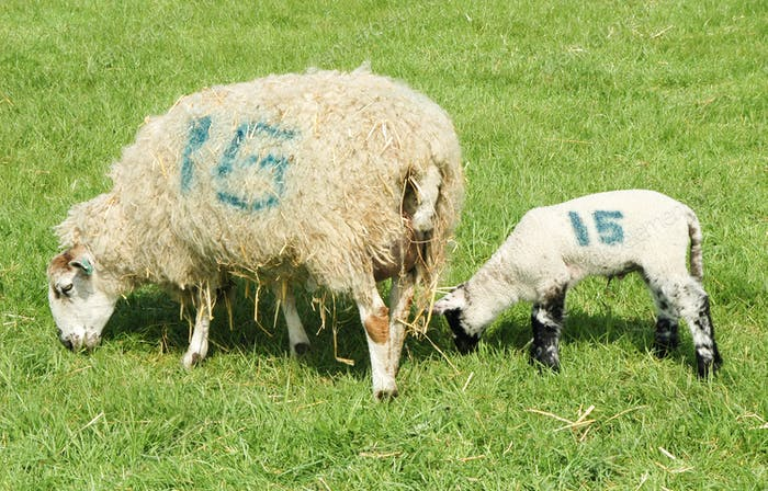 numbered sheep