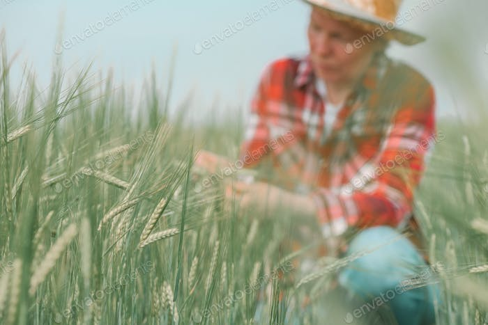 Female agronomist farmer examining development of green barley crops in field