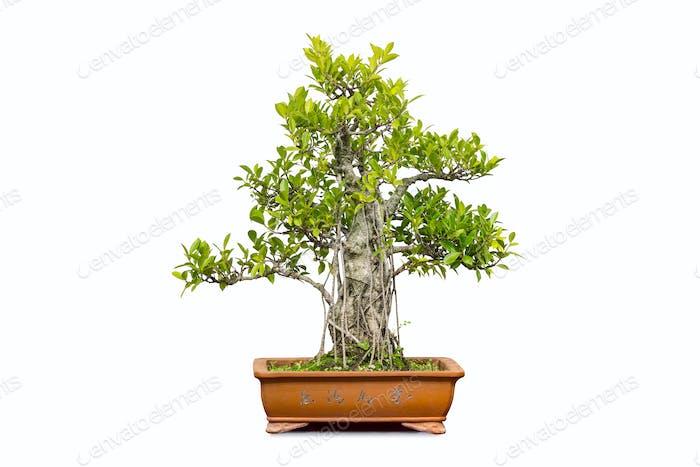 banyan bonsai isolated
