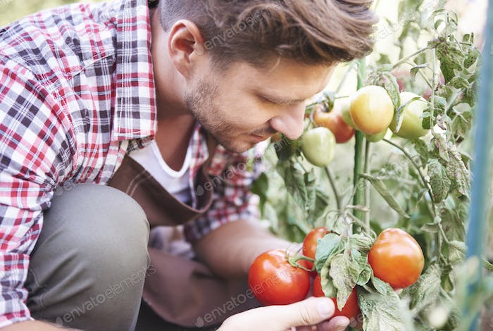 Farmer is admiring ripe tomatoes in greenhouse