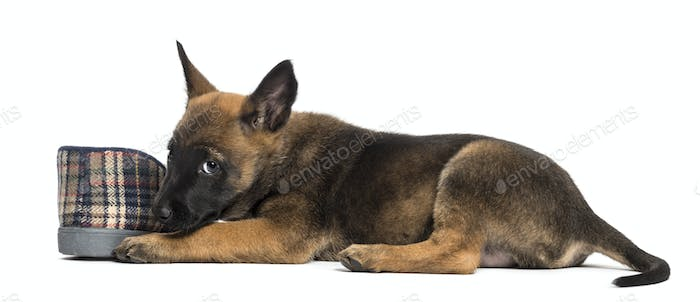 Belgian Shepherd puppy lying next to slipper against white background
