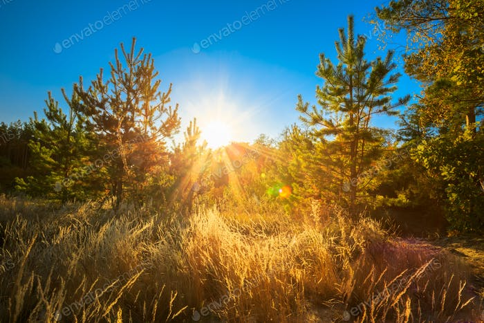 Sunset In Summer Coniferous Forest Trees. Nature Woods In Sunlig