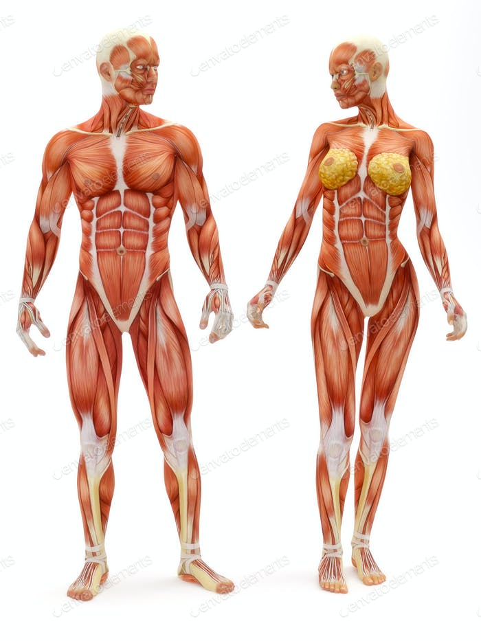 Male and Female musculoskeletal
