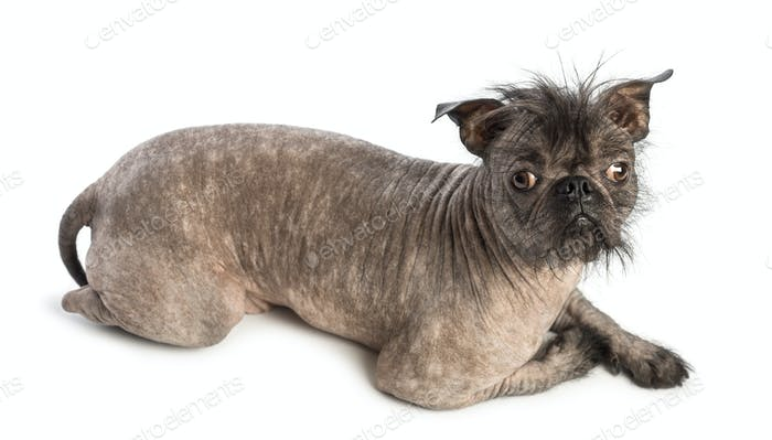 High view of a Hairless Mixed-breed dog, mix between a French bulldog and a Chinese crested dog