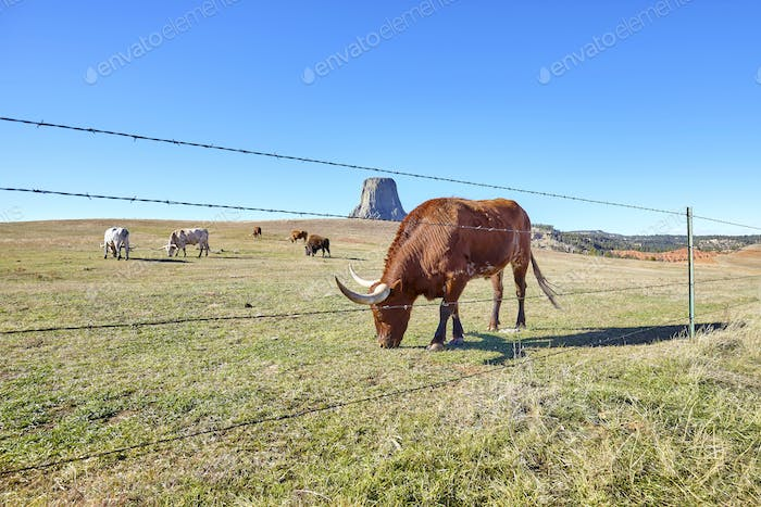 Cattle with Devils Tower in distance, USA.