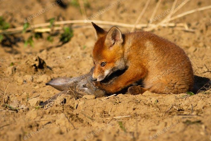 Niedliches Rotfuchsjunges sitzt auf dem Boden und schnüffelt totes Kaninchen in Frühlings-Natur