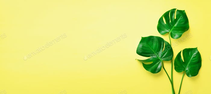 Green monstera leaves on yellow background with copy space. Top view. Banner. Minimal design. Exotic