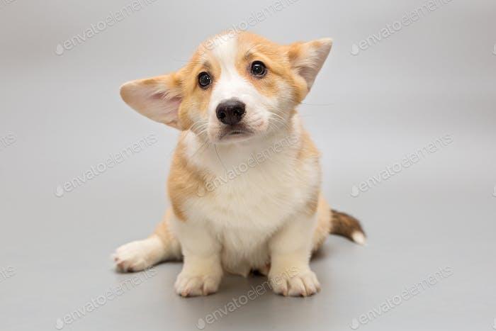 Funny Pembroke Corgi puppy