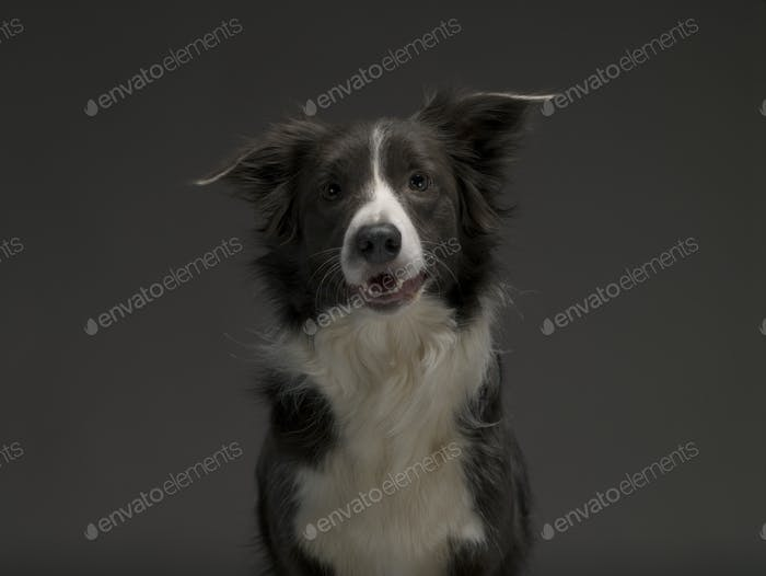 Border Collie dog breed on a gray background