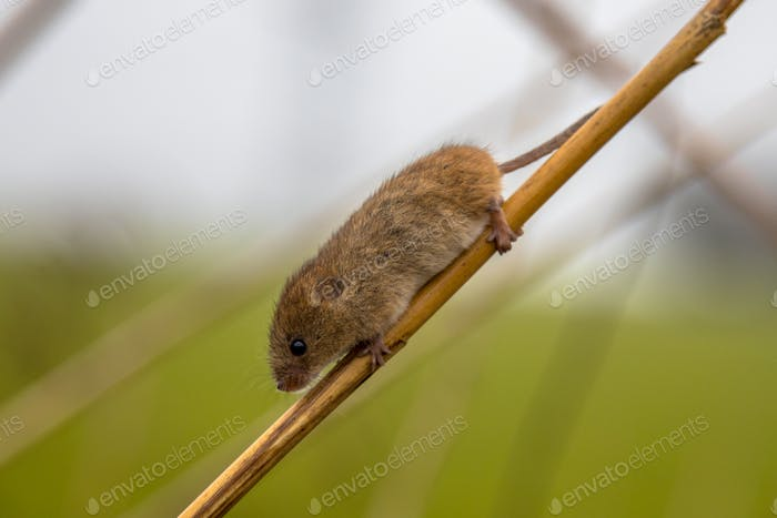 Harvesting mouse on branch of reed