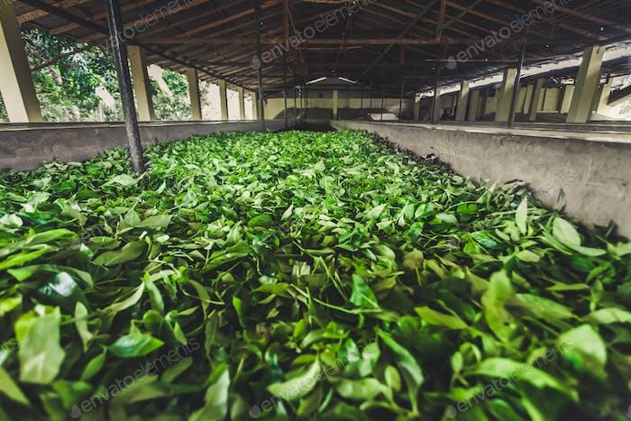 Tea leaves storage on the plantation. Sri Lanka