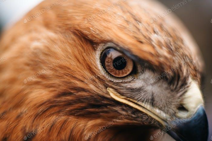 Anblick eines Raubvogels Nahaufnahme