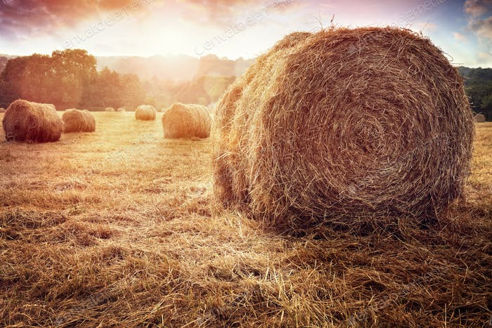 Hay bales in golden field at sunset