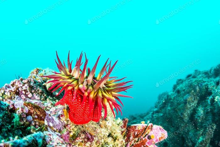 Rose Anemone on California Reef