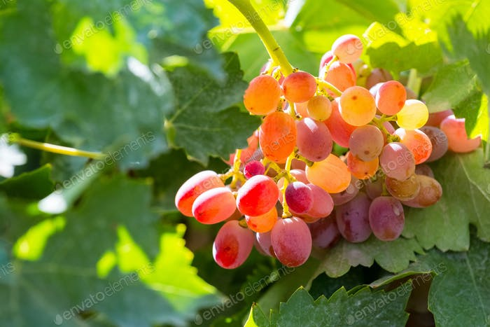 ripe red grapes with sunshine, autumn harvest vineyard closeup