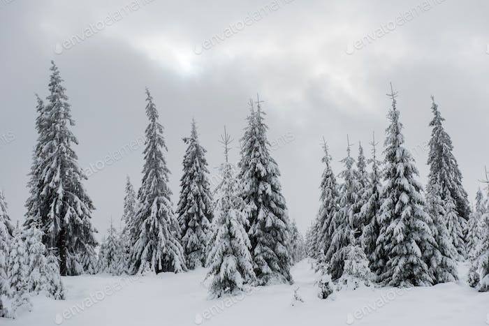 Fresh snow covered fir trees