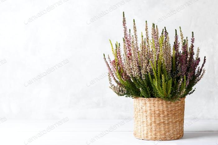 Heidekraut Calluna Blumen