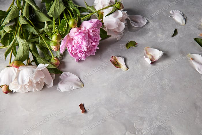 Composition from petals and branches of pink and white peonies with green leaves on a gray concrete