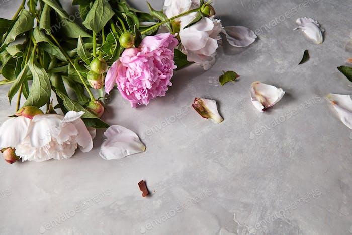 Zusammensetzung aus Blütenblättern und Zweigen von rosa und weißen Pfingstrosen mit grünen Blättern auf einem grauen Beton