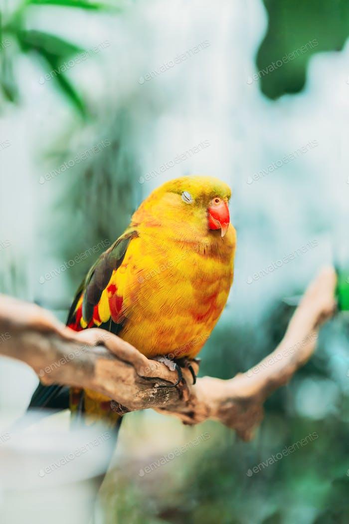 Sleeping Yellow Regent Parrot Or Rock Pebbler. Birds Can Be Trained.Wild Bird