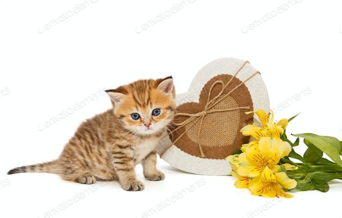 British kitten and gifts