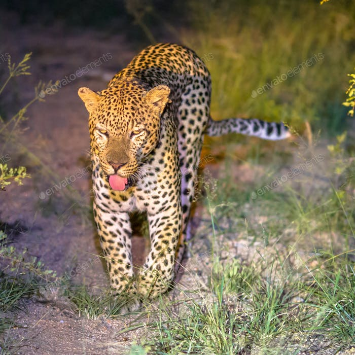 African Leopard at night square