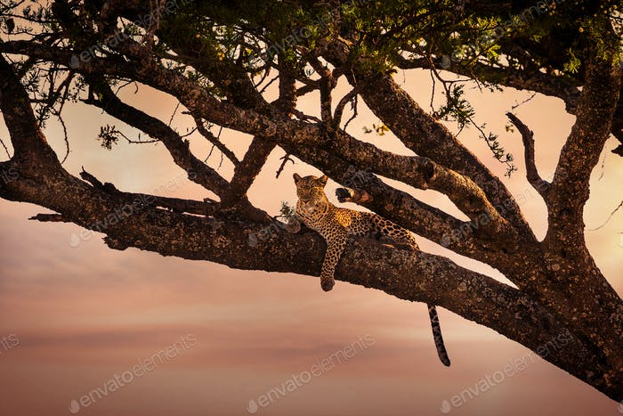 Leopard rests in a tree at sunset